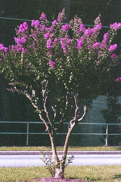 Crape Myrtle Pruning In Photos